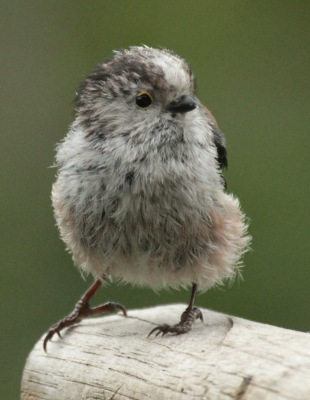 Young Long Tailed Tit