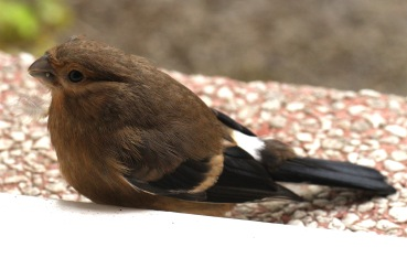 Fledgling Bullfinch- the juveniles have no black cap