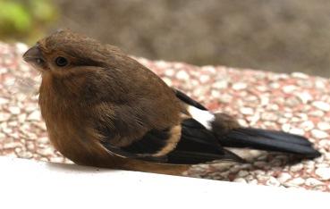 Fledgling Bullfinch- the juveniles have no black cap