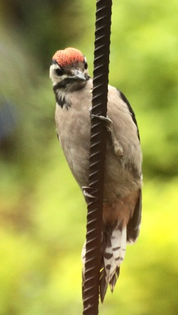 The young Great Spotted Woodpecker with its distinctive red cap