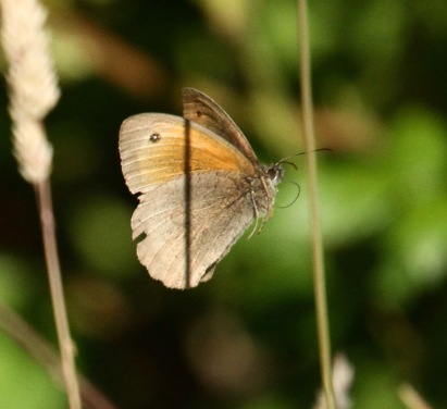 Male Meadow Brown flying low through the grasses as they do