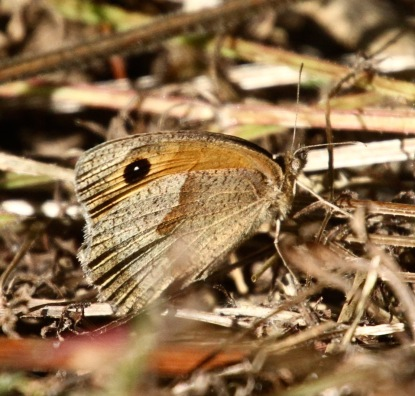 Female Meadow Brown- unlike Gatekeepers, they mostly bask with wings closed