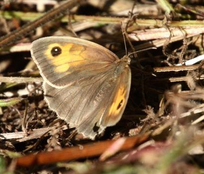 Female Meadow Brown
