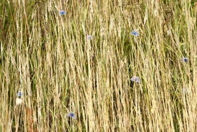 Just a few of the 40 or so Common Blue Butterflies this morning
