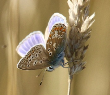 Male Common Blue showing upper and underwing