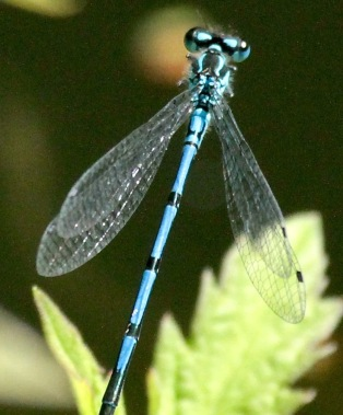 Common Blue Damselfly showing its blue body and narrow black bands