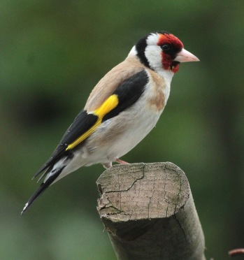 The gorgeous adult Goldfinch