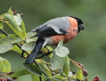 Two males, a female and at east two juvenile Bullfinches have been feeding