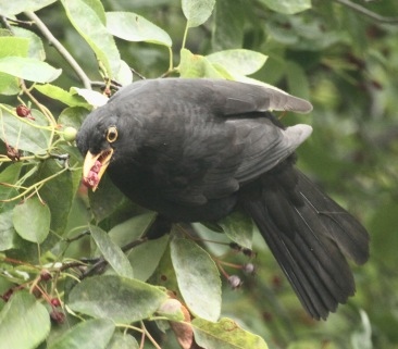 Blackbirds balance precariously or fly up and hover to get at the berries