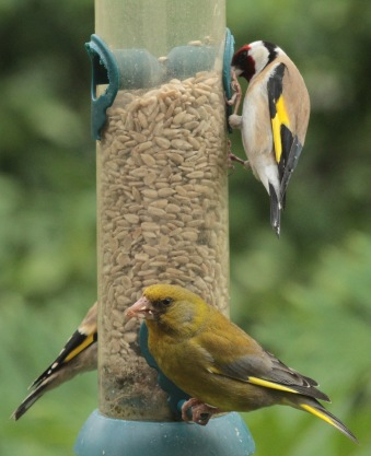 Here you can see the difference in size, shape and colouring between a Goldfinch and Greenfinch
