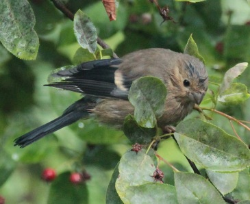 Juvenile Bullfinches took a while to learn the trick before tucking in
