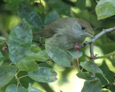 This female Blackcap, tucked well inside the tree, also enjoyed the fruits