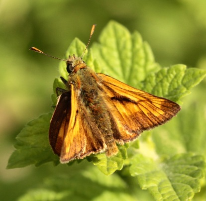 Small Skipper in typical pose, basking on leaves