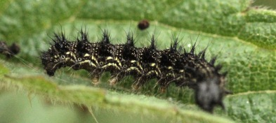The caterpillars are predominantly black with yellow markings along the side