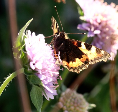 Adult Butterflies feed on a range of nectar-rich flowers, like this Scabious