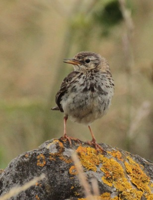 Young Meadow Pipit calling on a limestone rock in the White Peak