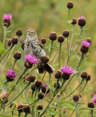 Young Meadow Pipit on the Knapweed in Peak District hay meadows.