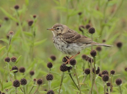 Meadow Pipit on the seed heads of Knapweed