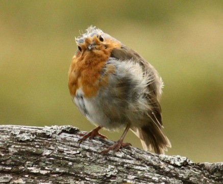 Moulting adult Robin, looking rather dishevelled