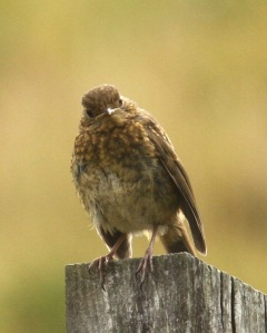 Young Robin, soon to moult into adult plumage
