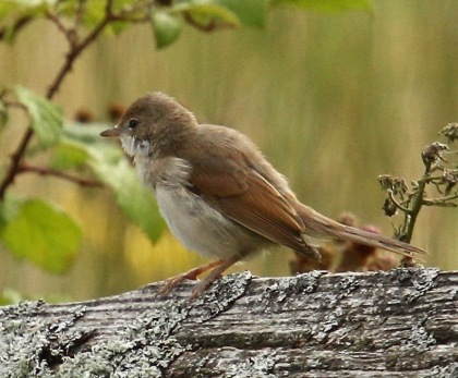 A female Whitethroat this morning