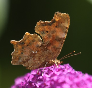It's easy to see why the Comma is so well camouflage among dried leaves