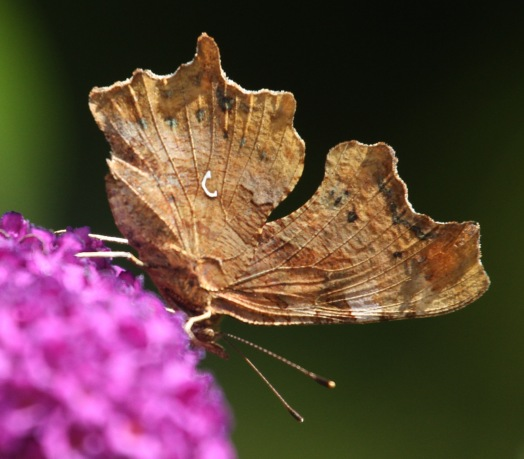 With the appearance of an old leaf, the white 'Comma' mark gives this butterfly its name
