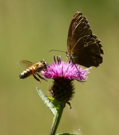 Ringlet and Bee decide to share the Knapweed