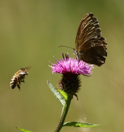 Ringlet Butterfly on Knapweed with approaching competition!