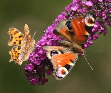 Comma and Peacock on Buddleia