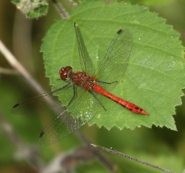 The Ruddy Darter has a 'waist' shape and dark wings and legs