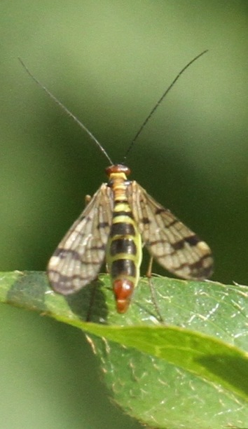 Clearwings often have intricate patterns on their wings