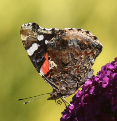 What amazes me about the underwing of the Red Admiral is the wonderfully textured and patterned camouflage. I like the view of the curled proboscis in this photo, too- it uncurls to reach deep into long tubes of flowers like this Buddleia