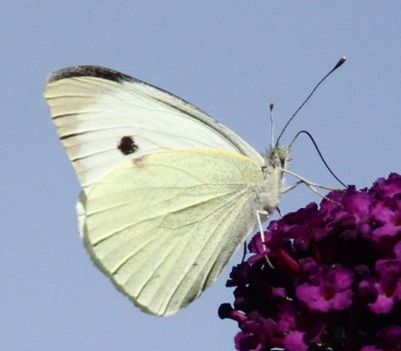 The creamy-white appearance of the Large White