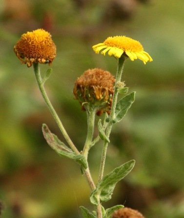 Fleabane, flowering in late summer, is a good source of nectar.