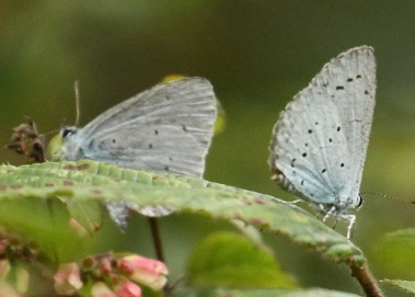 Two Holly Blues feed on the inconspicuous flowers of Snowberry