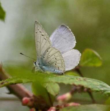 The dark rim of this Holly Blue means it is a female.