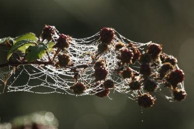 Other sorts of webs completely entangled the Blackberries