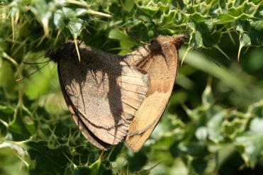 This pair of Meadow Browns are mating. The female is paler than the male