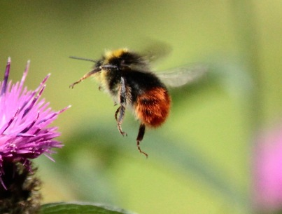 Worker Red-tailed Bumblebees speed from plant to plant, gathering nectar