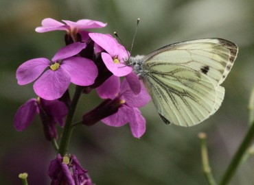 As individual Green-veined Whites age their green veins, which show when the wings are folded, can get greyer