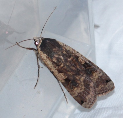 The colours and patterns on the Large Yellow Underwing vary, as these photos show.