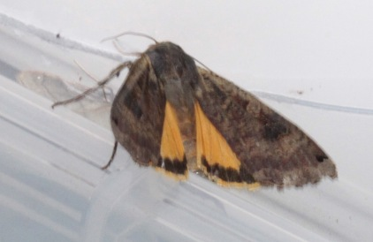 The flash of the camera disturbed the moth and it flashed its Yellow Underwing (more orange to me)