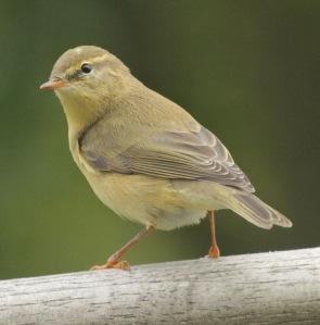 Wilow Warbler