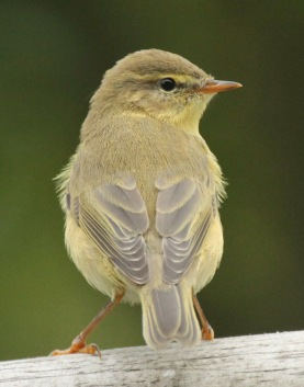 Willow Warbler- showing the long wing feathers