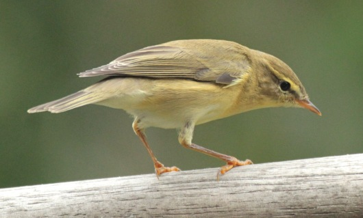 Willow Warbler- its legs are reddish