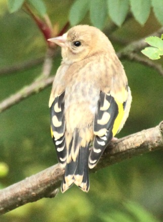 Young Goldfinch are also known as 'grey-pates', lacking the brightly coloured heads