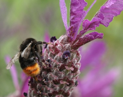 The Queen Red-tailed Bumblebee is larger and darker and emerges in spring