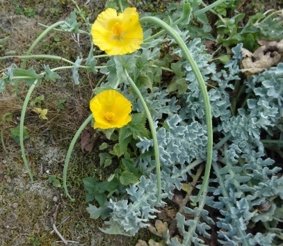 Yellow Horned Poppy, with its glaucous leaves and long, curved seed-pods