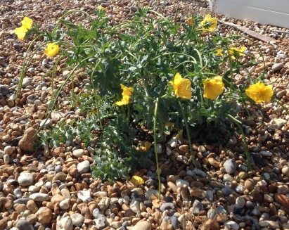 Typical habitat for Yellow Horned Poppy- shingle beach at Bexhill